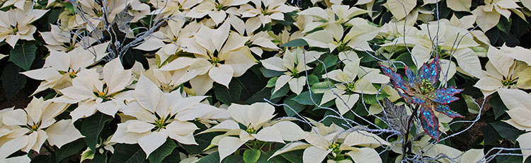 113020_White_Poinsettias_for_the_Holidays-THUMB.jpg