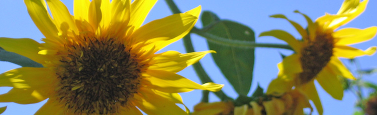 Multiple-Headed-Sunflower-THUMB.jpg