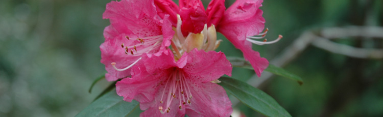 Overwintering-Rhododendron-and-Azalea-Growing-in-Containers-THUMB.jpg