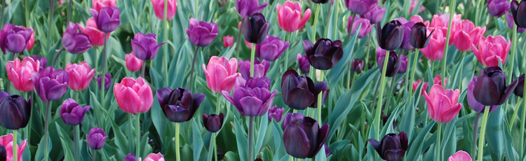 To-Dig-Up-Tulip-Bulbs-or-Not-THUMB.jpg