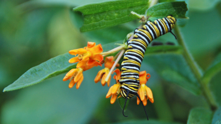 Milkweed-for-Butterflies.jpg