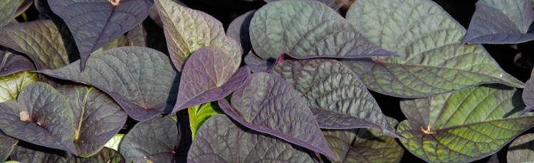 111414_Are_Ornamental_Sweet_Potato_Vines_Edible.jpg