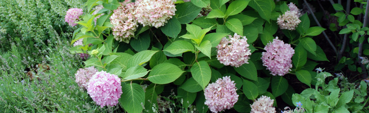 Blue-Flowered-Hydrangea-is-Now-Pink---THUMB.jpg