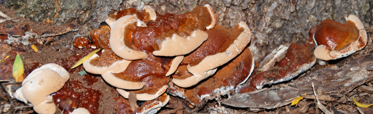 Mushrooms-Growing-at-the-Base-of-Maple-Tree-THUMB.jpg