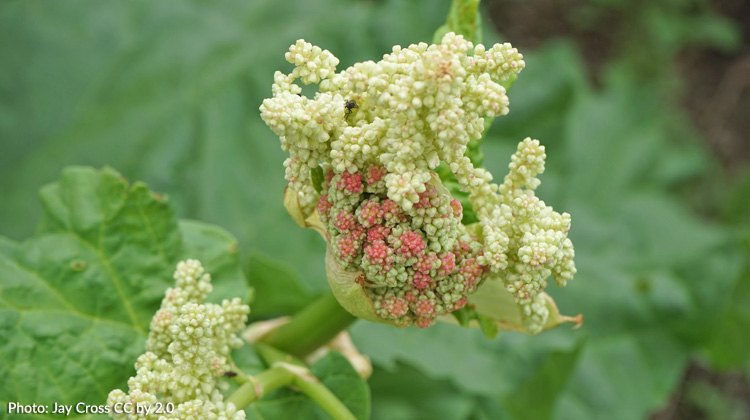Rhubarb-is-Sending-Up-Flower-Stalk.jpg