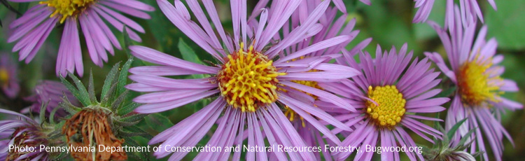101916_Native_Nectar_Plant_New_England_Aster.jpg