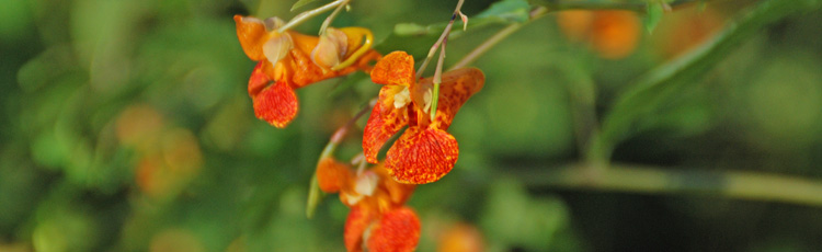 073115_Jewelweed_Pain_Relief_for_Stinging_Nettle_and_Poison_Ivy.jpg