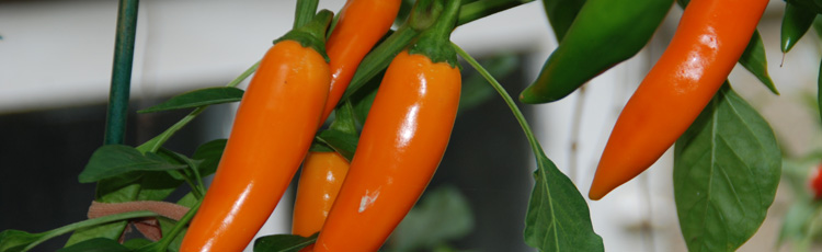 092815_Nutritious_and_Delicious_Peppers.jpg