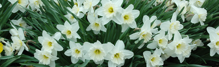 2013_489_MGM_Daffodils_Fail_to_Bloom.jpg