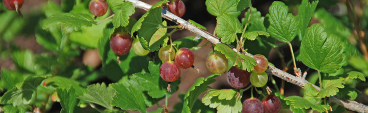 2011_169_MGM_Pruning_Currants_and_Gooseberries.jpg