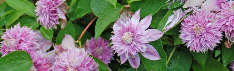 Controlling-Clematis-Size-THUMB.jpg