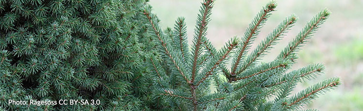 081920_Dwarf_Alberta_Spruce_Sprouts_Unusually_Large_Growth-THUMB.jpg