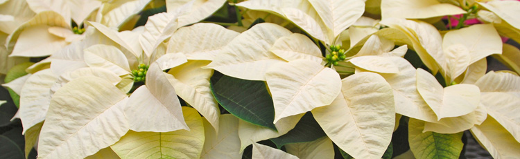Poinsettia-Dropping-All-Its-Leaves-THUMB.jpg