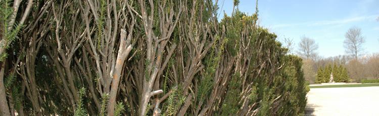 Pruning Overgrown Yew Thumb Jpg