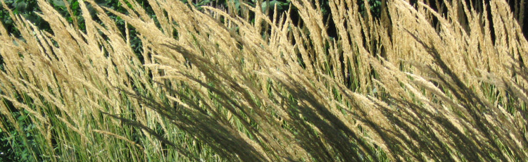 080116_Low_Maintenance_Ornamental_Grasses.jpg