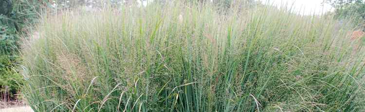 022114_2014_Perennial_Plant_of_the_Year_Northwind_Switchgrass.jpg