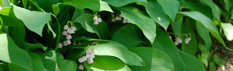 Lily-of-the-Valley-and-Raspberry-Bushes-Turning-Brown.jpg