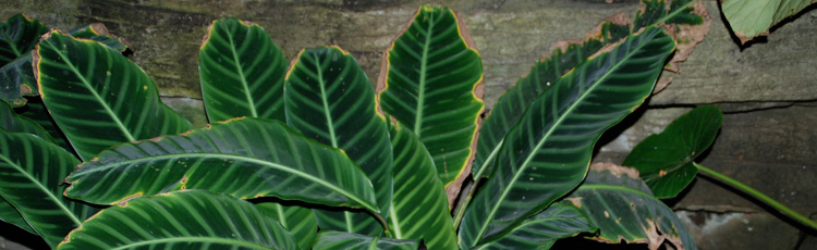 2011_182_MGM_Brown_Tips_on_Houseplant_Leaves.jpg