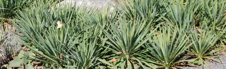 Growing-Yucca-from-Cuttings.jpg