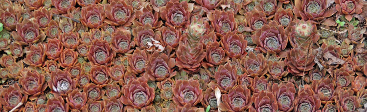 Transplanting-Hens-and-Chicks.jpg