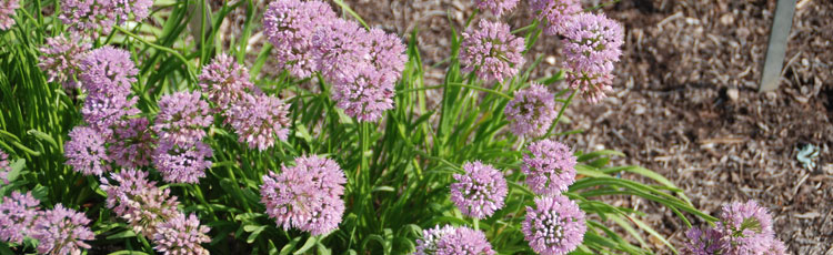 090318_Allium_Senescens_ssp_Glaucum_Late_Summer_Fall_Blooming_Ornamental_Onion-THUMB.jpg