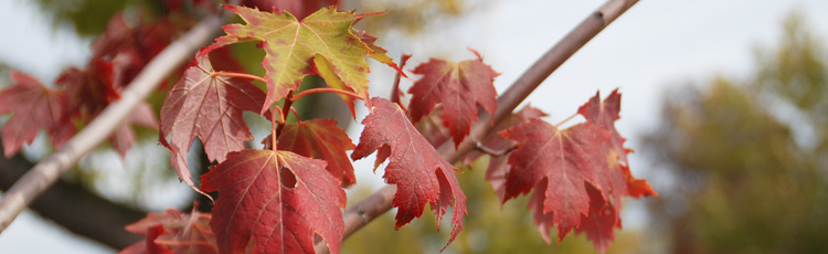 Seedless-Maple-Cultivars-THUMB.jpg