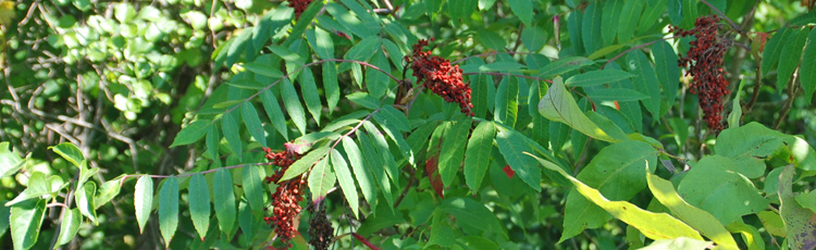 Growing-Sumac-THUMB.jpg