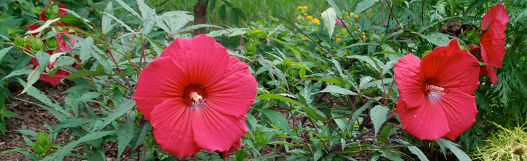 Best-Time-to-Prune-Hardy-Hibiscus-THUMB.jpg