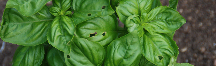 Holes-in-Basil-Leaves.jpg