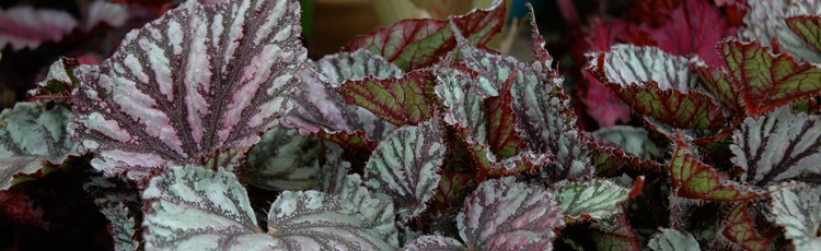 020117_Starting_New_Begonia_Plants_from_a_Leaf.jpg
