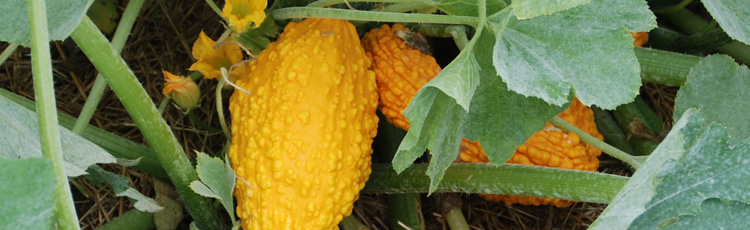 Poor-Fruiting-on-Gourd-Plants-THUMB.jpg