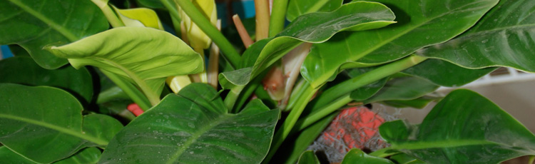 030514_Leaf_Spot_on_Philodendron.jpg
