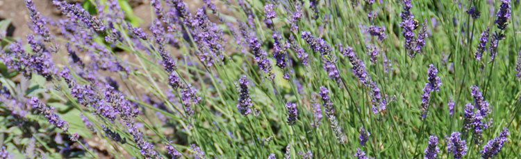 Keeping-Lavender-Alive-Through-Cold-Winters.jpg