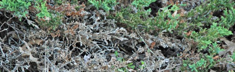 050819_Phomopsis_Blight_on_Junipers.jpg