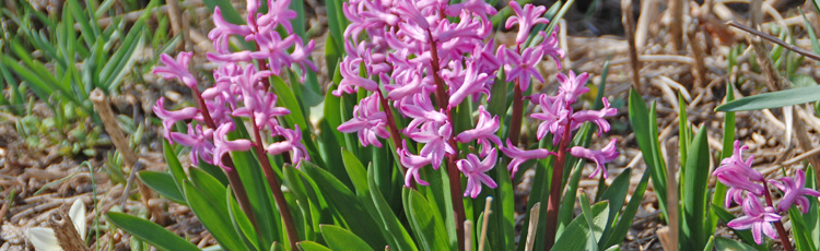 No-Flowers-on-Hyacinths-THUMB.jpg