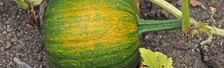 How-to-Tell-When-Squash-are-Ready-to-Harvest-THUMB.jpg