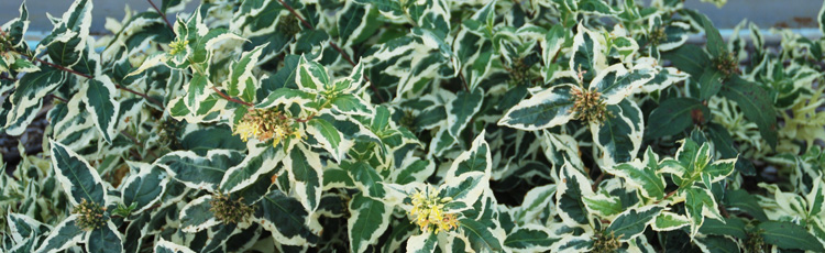 072314_Cool_Splash_Diervilla_Shrub_for_Shady_Gardens.jpg