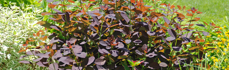 2011_219_MGM_Purple_Leaf_Shrubs.jpg
