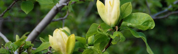 Summer Blooming Magnolia Melinda Myers