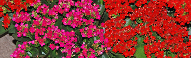 031918_Low_Maintenance_Kalanchoes.jpg