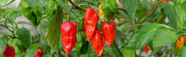 041519_Hot_Pepper_Scoville_Heat_Unit_Ratings.jpg