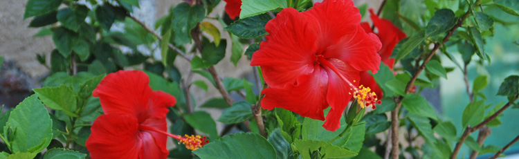 Overwintering-Your-Hibiscus-THUMB.jpg