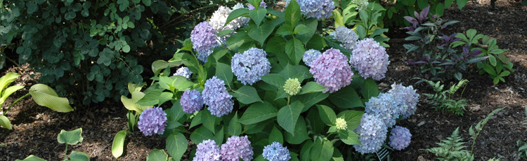 110514_Increase_Flowering_on_Hydrangeas.jpg