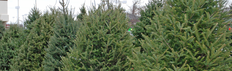 112913_Balsam_Fir_Christmas_Tree.jpg