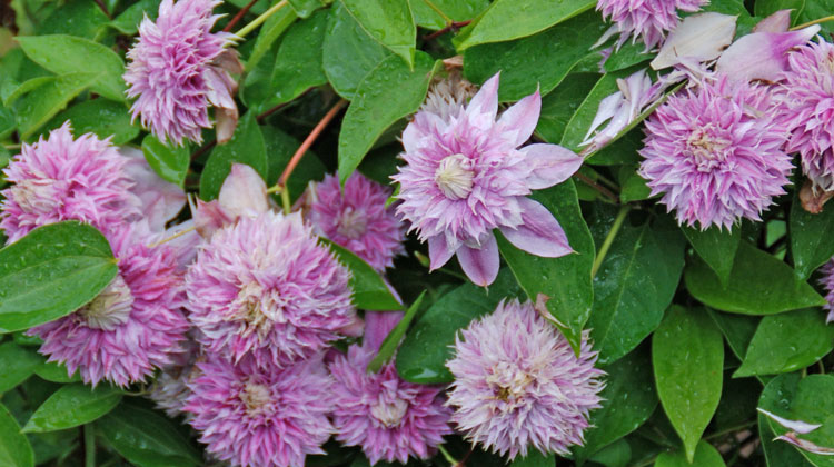 Controlling-Clematis-Size-HERO.jpg
