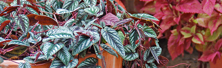 090420_Growing_Rex_Begonia_Vine-THUMB.jpg