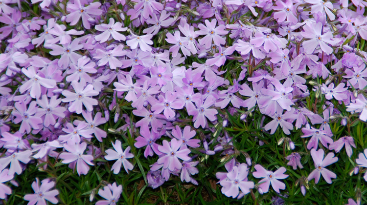 Care-of-Creeping-Phlox.jpg