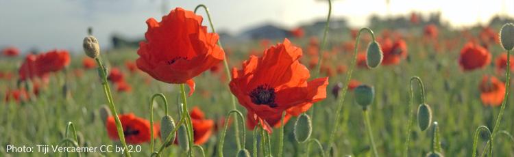 The memorial day poppy melinda myers mightylinksfo