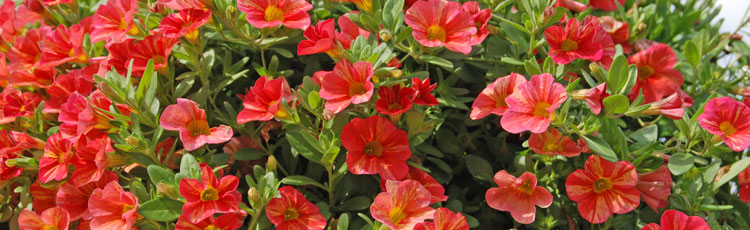 050918_Colorful_Easy_Care_Calibrachoa_for_Mothers_Day.jpg