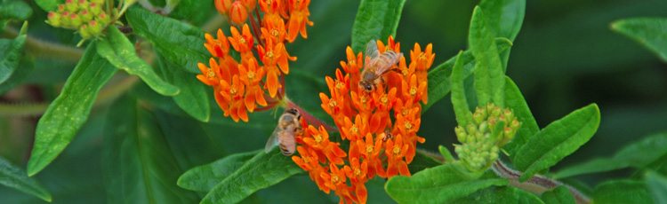 012017_Butterfly_Weed_the_2017_Perennial_Plant_of_the_Year.jpg